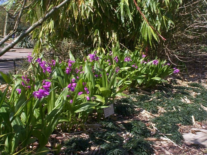 Bletilla striata - Hyacinth Orchid, Chinese Ground Orchid